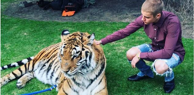 bieber tiger