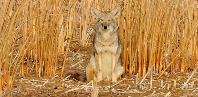 Coyote sightings reported in Whitby park: Durham police