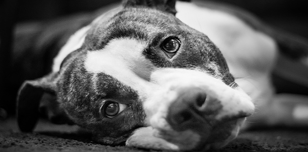 Private member's bill hopes to reverse Ontario pit bull ban - durhamradionews.com